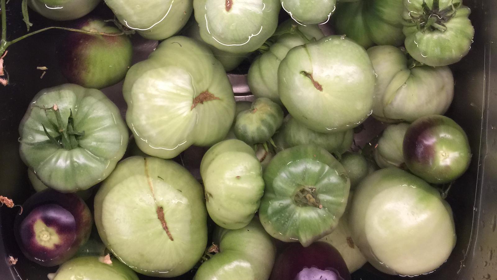 Gröna Brandywine-tomater